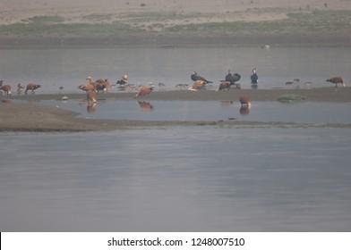 Ruddy shelducks (Tadorna ferruginea), great cormorants (Phalacrocorax carbo) and waders. Yamuna river. Agra. Uttar Pradesh. India.