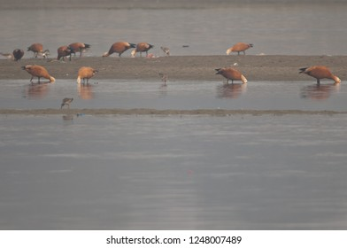 Ruddy shelducks (Tadorna ferruginea) and waders feeding. Yamuna river. Agra. Uttar Pradesh. India.
