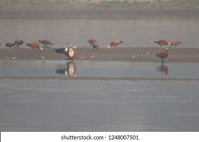 Ruddy shelducks (Tadorna ferruginea) and waders. Yamuna river. Agra. Uttar Pradesh. India.
