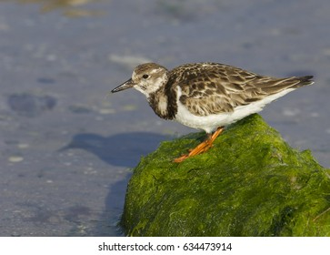 Ruddy Turnstone, Arenaria interpres, on green grass covered rock over blue water