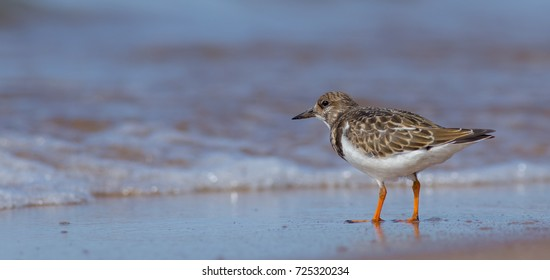 Ruddy Turnstone - Arenaria interpres, on the Baltic sea shore on autumn migration way, Curonian Spit, Lithuania