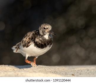 Ruddy Turnstone (Arenaria interpres) - Orange Foot