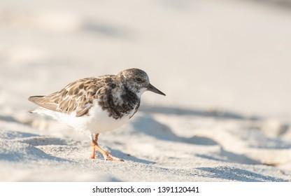 Ruddy Turnstone (Arenaria interpres) - Walk in the Sand