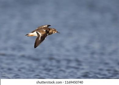 ruddy turnstone (Arenaria interpres),winter florida, wading bird, small bird, flying at the coast,ocean in the background