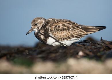 Ruddy Turnstone, Turnstone, Birds