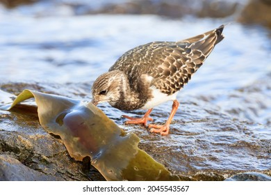 Ruddy Turnstone looking for food on the Japanese rocky shore on the way