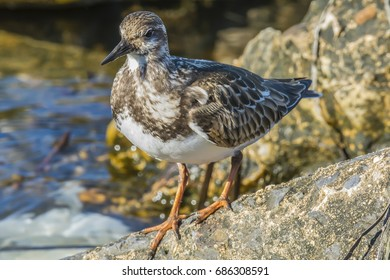 Ruddy Turnstone searching for dinner on the rocks