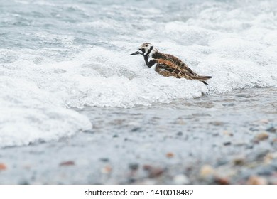 Ruddy Turnstone taking a quick bath in the surf. Ashbridges Bay Park, Toronto, Ontario, Canada.