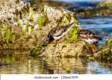 Ruddy Turnstone waders foraging for food Western Australian Coas