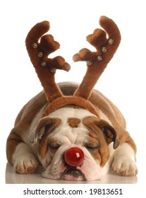 Rudolph the Red-Nosed Bulldog
