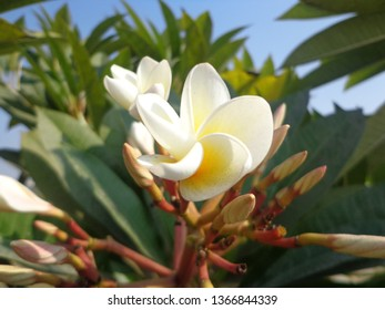 Rudraksh flowers are rarely found in the world.
