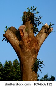Rudraksha tree or Elaeocarpus ganitrus.  Seed traditionally used as prayer beads in Hinduism (espcially Shaivism).