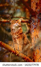 Rudy somali cat sitting on a pine tree branch at sunlight