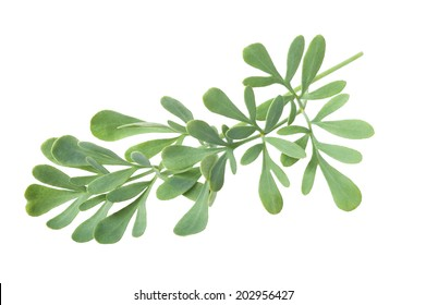 Rue branch isolated on white