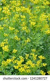 Rue fragrant (odorous) (Ruta graveolens L.). The blossoming plants