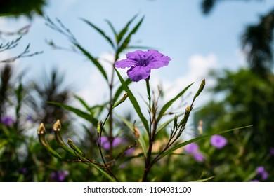 Ruellia, purple flower