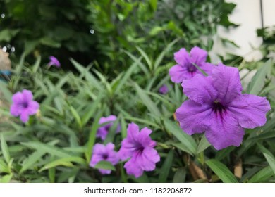 Ruellia simplex, Beautiful Flower - Shutterstock ID 1182206872