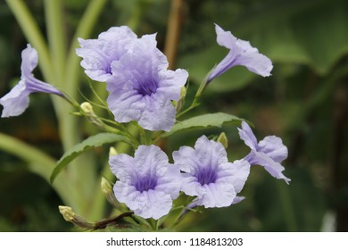 Ruellia tuberosa Linn Blooming in nature.Also known as Cracker plant, Fever root, Meadow weed, Minnie root,Pink-striped, trumpet lily.CHINESE: Lu li cao,FRENCH: Patate-chandelier.Medicinal plant herb