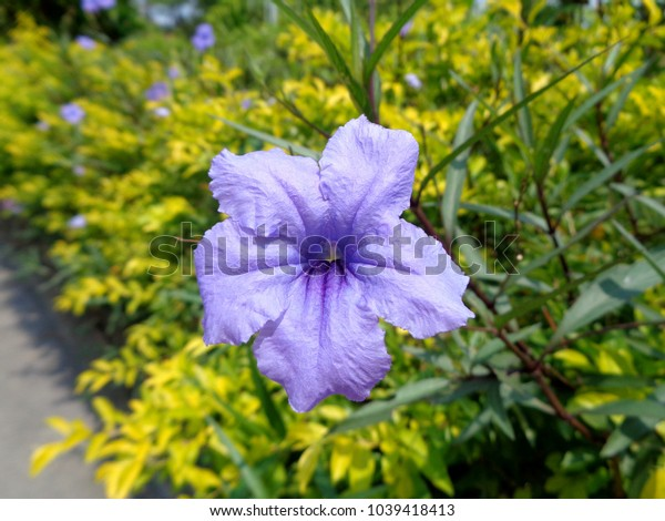 Ruellia tuberosa is a small, biennial plant in the family Acanthaceae, growing well both outdoors and indoors.