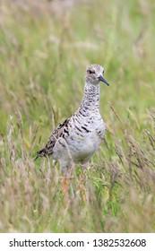 Ruff Bird on Grassland (Philomachus pugnax) Ruff Wader Bird