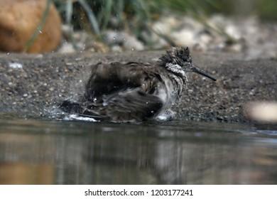 ruff (Calidris pugnax)
