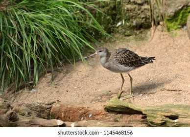 Ruff (Calidris pugnax), medium-sized wading bird that breeds in marshes and wet meadows