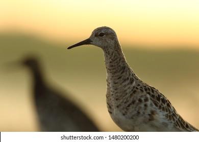 Ruff (Calidris pugnax). Swamp bird. Spring birds.