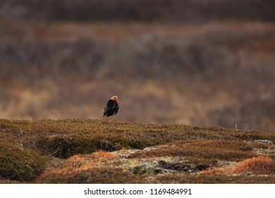 Ruff male in tundra