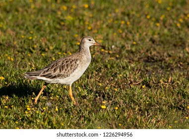 The ruff is a medium-sized wading bird that breeds in marshes and wet meadows. This highly gregarious sandpiper is migratory and sometimes forms huge flocks.