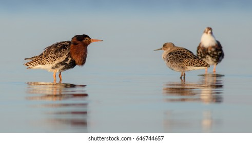 Ruff - Philomachus pignax / Calidris pugnax - group of birds at a mating season on the shore of the Curonian Lagoon, Klaipeda county, Lithuania