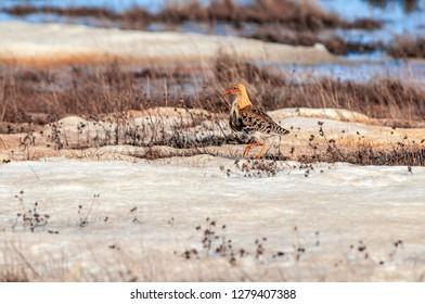 Ruff (Philomachus pugnax) in Barents Sea coastal area, Timan tundra, Nenets Autonomous Okrug, Arkhangelsk Region, Russia