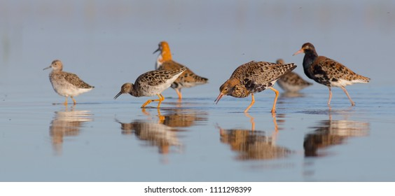 Ruff - Philomachus pugnax / Calidris pugnax - group of birds on the mating season at the Nemunas river delta, Lithuania
