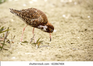 Ruff (Philomachus pugnax) coming in to breeding plumage, foraging on sandy ground
