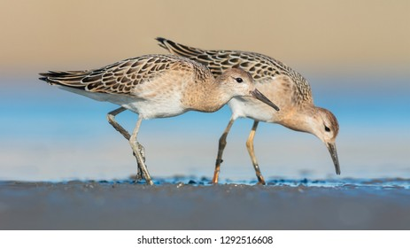 The Ruff (Philomachus pugnax) is a medium-sized wading bird. Photo was taken in Ukraine