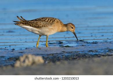 Ruff (Philomachus pugnax) searching food in shallow water