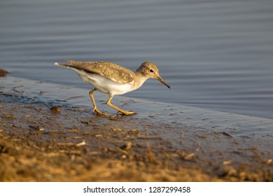 Ruff (Philomachus pugnax) - Young, fishing, Kruger National Park, South Africa.