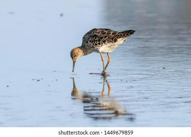 Ruff water bird (Philomachus pugnax) Ruff in water