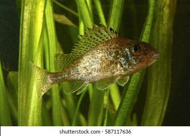 Ruffe, Gymnocephalus cernuus fish in the lake