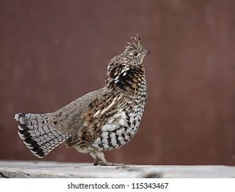 state bird of pennsylvania images stock photos vectors shutterstock