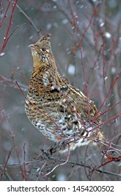 Ruffed Grouse perched in saskatoon bush during snow storm.