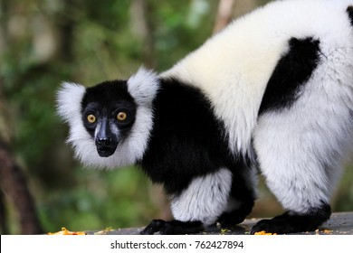 Ruffed lemur, Monkeyland, South Africa