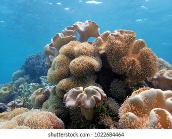 Ruffle coral in Guam, USA.
