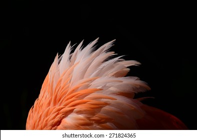 Ruffled flamingo feathers against a black background