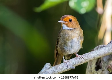 Rufous Browed Flycatcher bird in reddish brown with white throat perching on branch at Fraser's hill, Malaysia (Anthipes solitaris)
