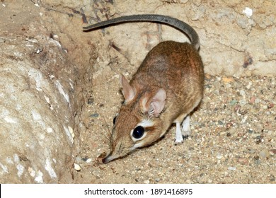 Rufous elephant shrew (Elephantulus rufescens)