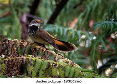 Rufous Fantail - Rhipidura rufifrons, small Passerine bird, known also as the black-breasted rufous-fantail or rufous-fronted fantail, Australia, Indonesia, Micronesia, New Guinea and the Solomon Isla