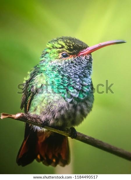 Rufous hummingbird in Costa Rica