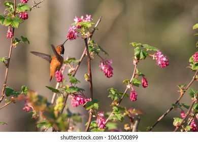 rufous Hummingbird In Flight With Flowers at BC Canada