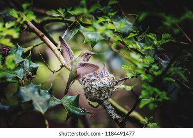 Rufous hummingbird landing on nest to feeding baby's
