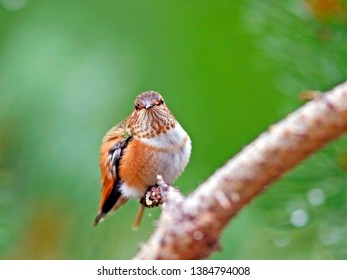 Rufous Hummingbird, male perched on pine tree branch.